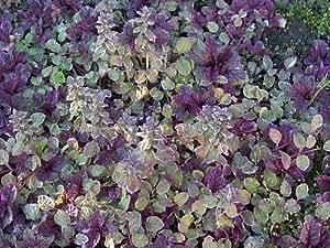 "Burgundy Glow Ajuga 24 Plants - Carpet Bugle - Very Hardy -1 3/4"" Pots"