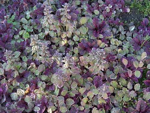 Burgundy Glow Ajuga 24 Plants - Carpet Bugle - Very Hardy -1 3/4