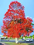 Brachychiton acerifolius, exotic Illawarra Flame Tree flowering seed 50 seeds