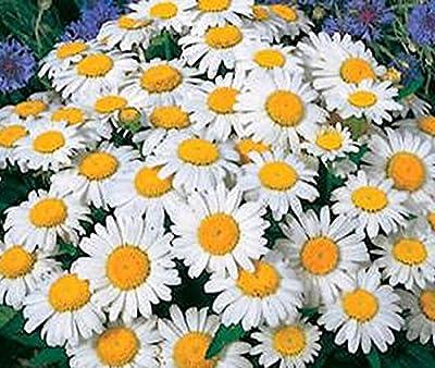 Shasta Daisy - Perennial, Full Sun Daisy
