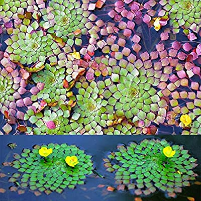 Tennessee526 Beautiful Exotic Flower Perennial Outdoor Garden 20Pcs Aquarium Aquatic Plant Ludwigia Sedioides Seeds Garden Fish Tank Decor - Ludwigia Sedioides Seeds : Garden & Outdoor