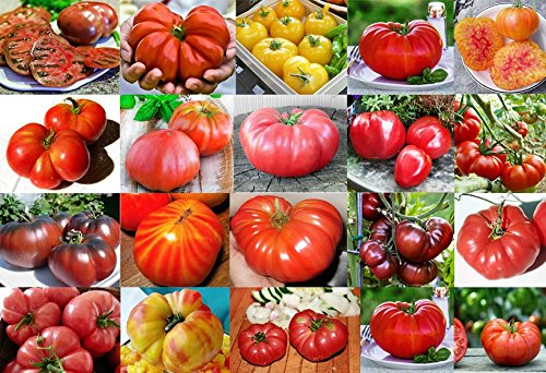 PLEASE READ! THIS IS A MIX!!! 30+ ORGANICALLY GROWN GIANT Tomato Seeds, Mix of 22 Varieties, Heirloom NON-GMO, Brandywine Black, Red, Yellow & Pink, Mr. Stripey, Old German, Black Krim, From USA (Tomato Giant)