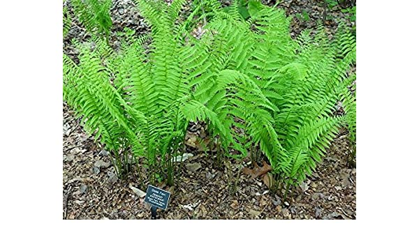 Matteuccia struthiopteris TN OSTRICH GLADE fern 20 rhizome//root