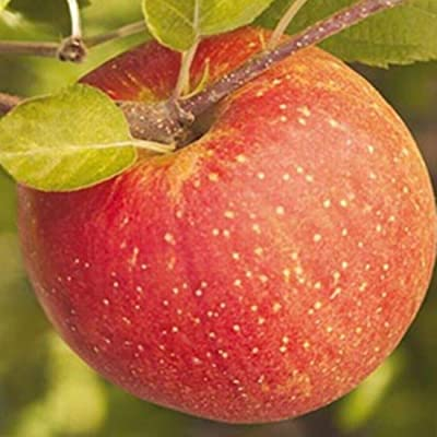 AchmadAnam - Live Plant - Apple Fuji Low-Chill Fruit Tree Standard Choice 3-4 ft : Garden & Outdoor