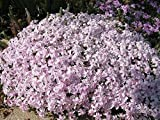 PHLOX SUBULATA 'CANDY STRIPE' - CREEPING PHLOX - PLANT