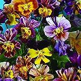 25+ Viola Brush Strokes/Perennial, Edible Pansy, Rare Perennial Flower Seeds
