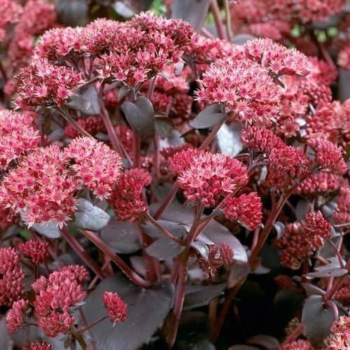 50 Sedum Telephium Semi Sedum Imperatori onda semi succulente
