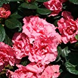 "Double Pink Bloom-A-Thon® Everblooming Azalea - Proven Winners - 4"" Pot"
