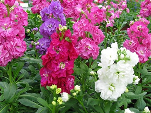 - Stock Mix, Perfume Plant Gillyflower Night Scented, 40seeds