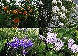 Sky Flower Tree Tropical Plant Duranta repens Choose One Blue White Purple SZ4P