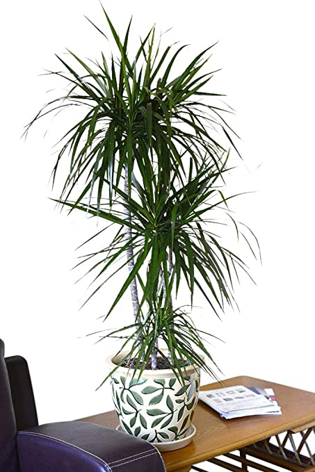 Piante Da Appartamento Dracena Marginata.Indoor Plant House Or Office Plant Dracaena Marginata