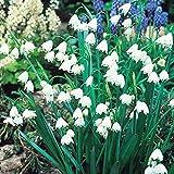 50 Bulbs : Bolly Bulbs - Leucojum aestivum (50 Bulbs)