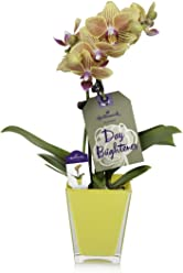 Hallmark Flowers Petite Salmon Orchid in 2.5-Inch Yellow Glass Container