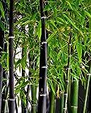 Rare Fresh Black Bamboo Seeds Phyllostachys Nigra 100pcs
