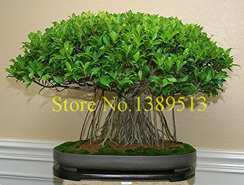10 china banya tree bonsai seeds Ficus Microcarpa Tree Seeds Sementes Bonsai Ginseng Banyan Garden Tree Outdoor -