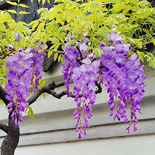 Potato001 30Pcs Wisteria Flower Seeds Home Garden Perennial Climbing Plants Ornament ()