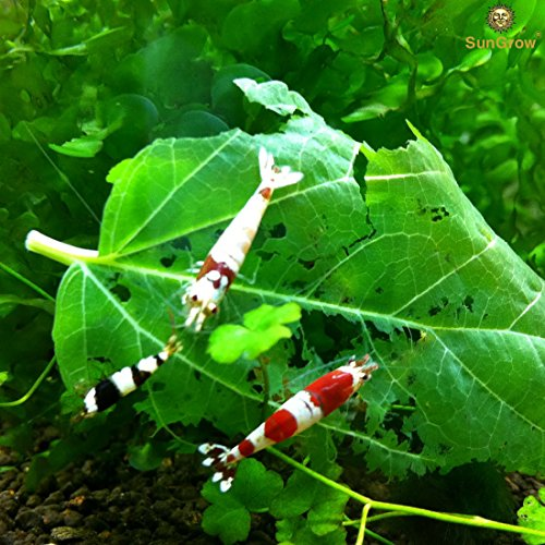 SunGrow Mulberry Leaves (1 oz): 100% Natural food source for shrimp: High in carbohydrate, fiber, vitamins and minerals: Helps to maintain shrimp exoskeleton: Aids the molting process