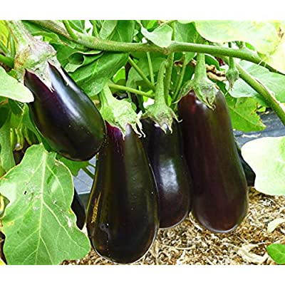 Eggplant seeds Colombo Heirloom Vegetable Seed from Ukraine : Garden & Outdoor