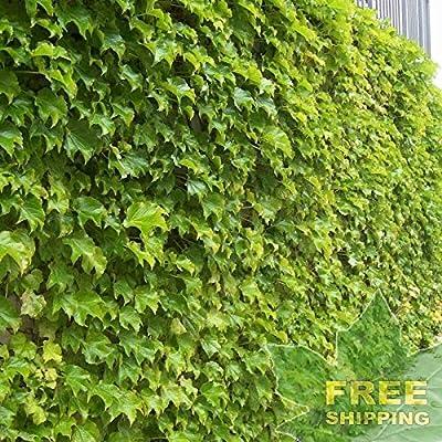 Boston Ivy Parthenocissus Tricuspidata - 10 Seeds : Garden & Outdoor