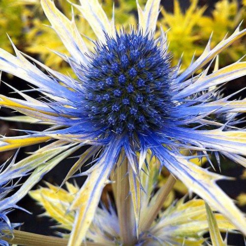 Neptune's Gold Sea Holly Perennial - Eryngium - Live Plant - 4