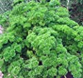 Parsley Seed, Moss Curled, Heirloom, Organic, Non Gmo, 25+ Seeds, Parsley Seeds