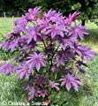 Castor Bean -Deep Purple- New Zealand Purple, Tropical Look, Fast Growing - Ricinus Communis, (16+ Seeds) From USA