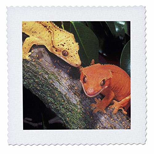 3dRose qs_83859_2 New Caledonia Crested Geckos, lizard-NA02 DNO0243-David Northcott-Quilt Square, 6 by 6