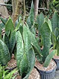 PlantVine Sansevieria masoniana 'Whale Fin', Snake Plant, Mother in law's Tongue, Bowstring Hemp - Extra Large - 12-14 Inch Pot (7 Gallon), Live Indoor Plant