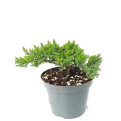 Bonsai Live Tree Juniper Garden 6'' Pot with Bonsai Fertilizer Slow Release - USA_Mall: Garden & Outdoor