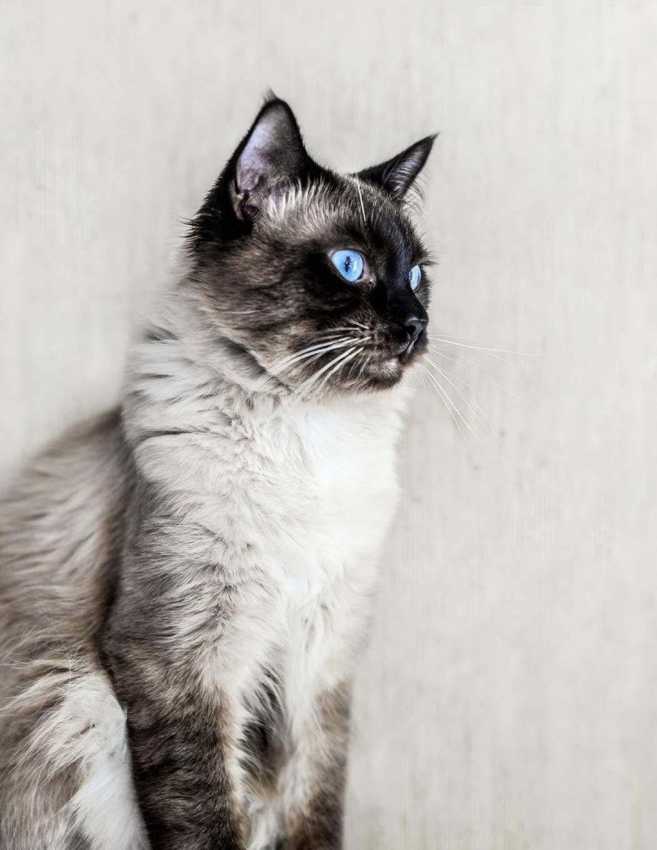 Amazon Com Notebook Cat Ragdoll Fluffy Kitten Cats Kittens Ragdolls Breed 9781687805843 Wild Pages Press Books