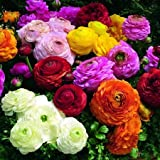 15 Persian Buttercup bulbs--Ranunculus Tecolote Mixture