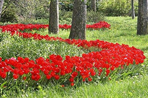 100 Parade Tulip Bulbs - Tulipa Darwin Hybrid-- Landscapers Bargain Bag!! Great for Fall Planting! ()