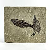Astro Gallery Of Gems Knightia Fossil Fish from Wyoming (2 pounds)