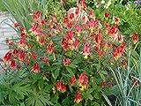 Wild Columbine Aquilegia Canadensis Native 100+ Seeds RED