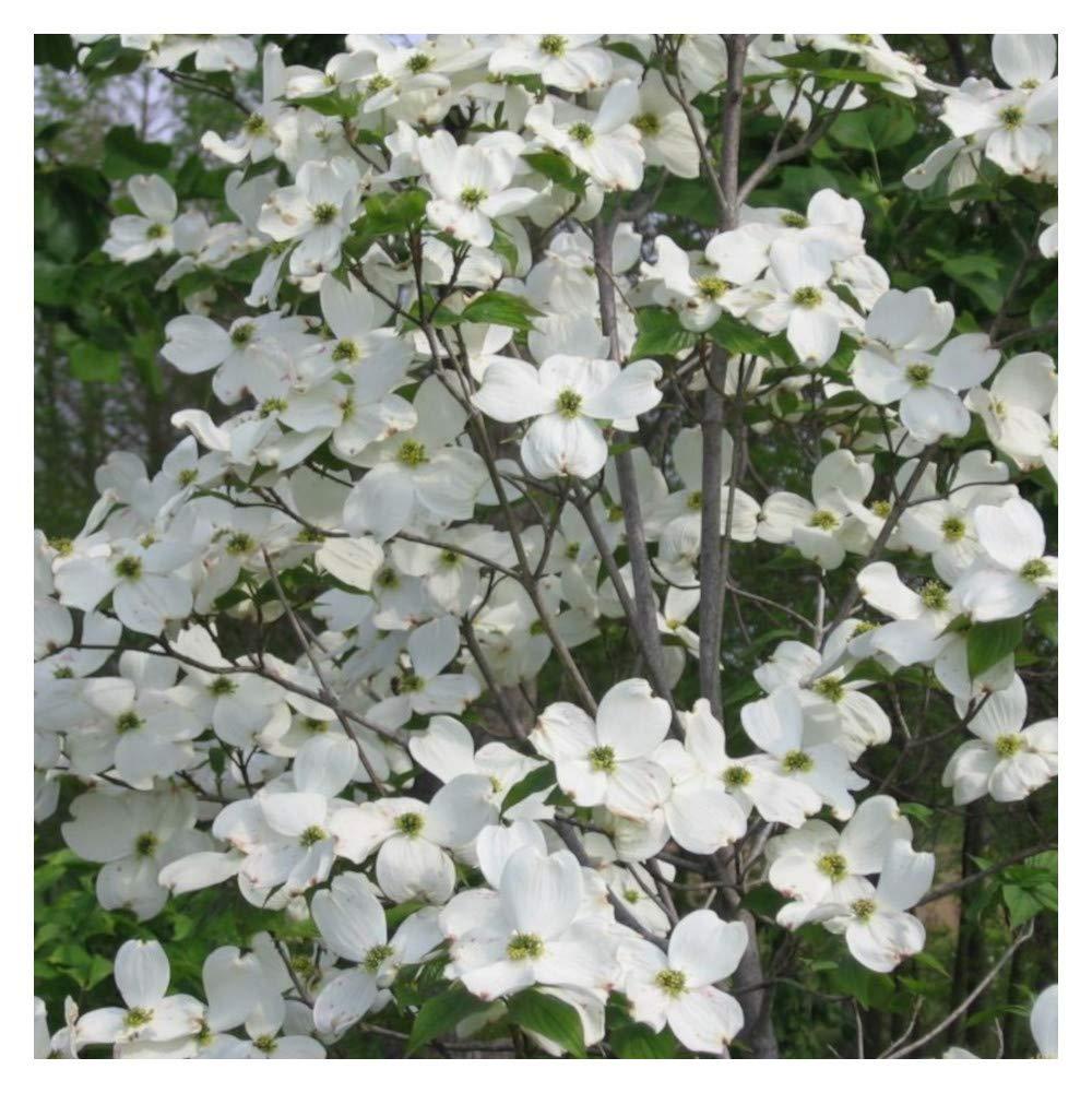 Amazon White Flowering Dogwood Tree Healthy Established