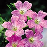 1 : Geranium Himalayense Pink - 3 Plants