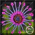 500pcs/bag Daisy hardy plants exotic ornamental flowers flowers-seed ornamental-plant Gerbera,bonsai plant home garden