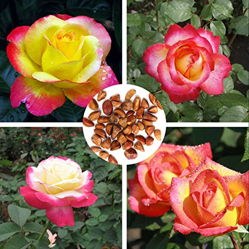 HUAhuako Seeds, 20Pcs Chinese Rose Seeds Pink and Yellow Beautiful Garden Yard Flower Plant Gift for Family Friends One Color
