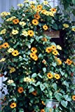 Black-eyed Susan Vine, Thunbergia, 55 Seeds!