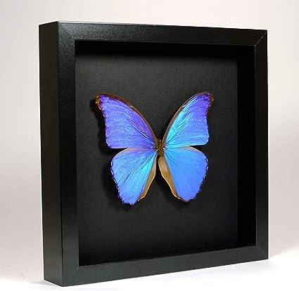 De Museumwinkel Com Morpho Didius Giant Blue Morpho Real Taxidermy Butterfly Mounted Under Glass In Handmade Elegant Black Wooden Frame Amazon Co Uk Home Kitchen