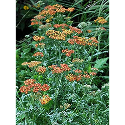 Perennial Farm Marketplace Achillea millefolium 'Terra Cotta' ((Yarrow) Perennial, Size-#1 Container, Peachy Yellow Flowers : Garden & Outdoor
