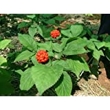 Green Leaf ® 50+ American Pre- Stratified Ginseng Seeds - Now Is the Time to Sow Ginseng, by Earth Home