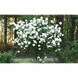 Chinese Snowball Bush - Live Plant - Shipped 1 to 2 Feet Tall (No California)