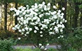 Chinese Snowball Bush - Live Plant - Shipped 1 to 2 Feet Tall (No California)