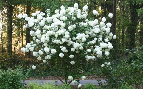 Chinese Snowball Bush - Live Plant Shipped 1 to 2 Feet Tall by DAS Farms (No California)