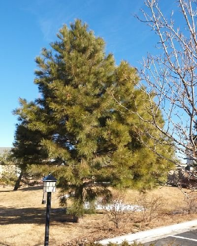 50 Ponderosa Pine Tree Seeds, Pinus Ponderosa - Oregon/washington/california