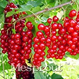 New New Arrival 50PCS A Bag Red Currant Fruit Plant Pan-american Gooseberry Seeds Lantern Fruit Seed Sementes For Garden Planting Mix
