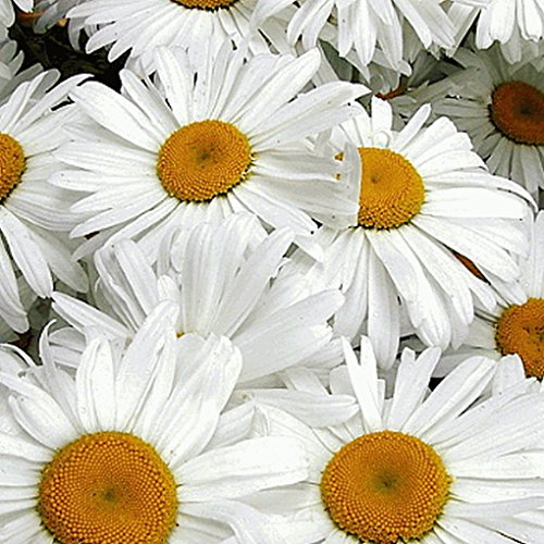 Everwilde Farms - 2000 Ox-Eye Daisy Wildflower Seeds - Gold Vault Jumbo Seed Packet