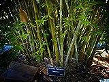 Seabreeze Bamboo 'Bambusa malingensis' - 1 Live 3 Gallon Plant - Privacy Screening Evergreen Clumping Bamboo