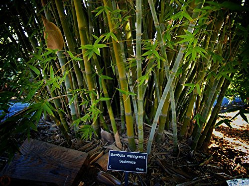 Seabreeze Bamboo 'Bambusa malingensis' - 1 Live 3 Gallon Plant - Privacy Screening Evergreen Clumping Bamboo by Clumping Bamboo (Image #4)